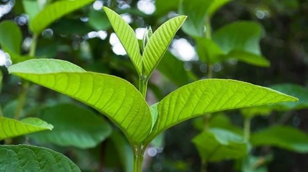 Uống nước lá ổi giảm cân, giảm cân bằng lá ổi trong 1 tuần, cách nấu nước uống lá ổi giảm cân từ thiên nhiên, trà lá ổi túi lọc giảm cân,