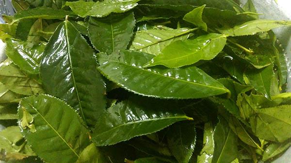 cách uống, nấu lá trà xanh tươi uống có giảm cân không
