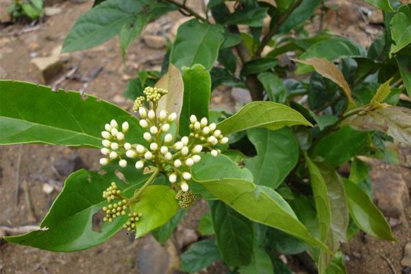 các loại lá uống giảm cân, các loại lá giúp giảm cân, các loại lá cây giúp giảm cân, các loại lá cây uống giảm cân, các loại lá có tác dụng giảm cân, các loại lá giảm cân, các loại nước lá giúp giảm cân, lá uống giảm mỡ bụng