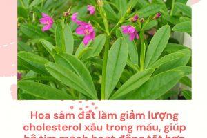 Uống trà hoa sâm đất có giảm cân không? Những tiết lộ khiến bạn bất ngờ